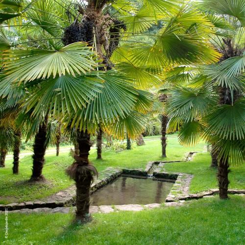 Bambou Fargesia Rufa 15l